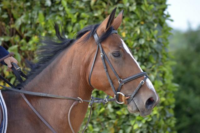 vend jument selle fran ais 5 ans 242236 acheter ce cheval equirodi france. Black Bedroom Furniture Sets. Home Design Ideas