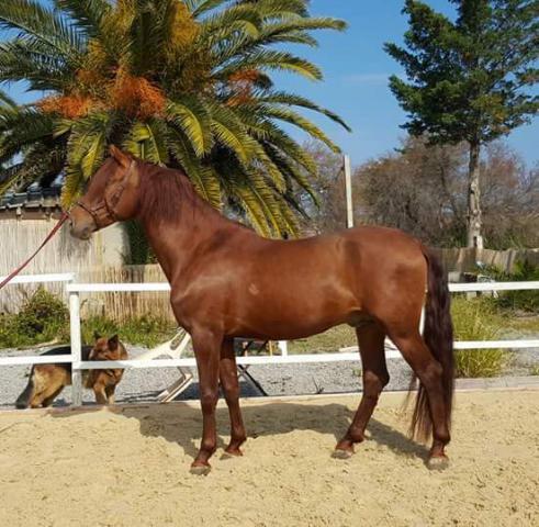 cheval espagnol alezan