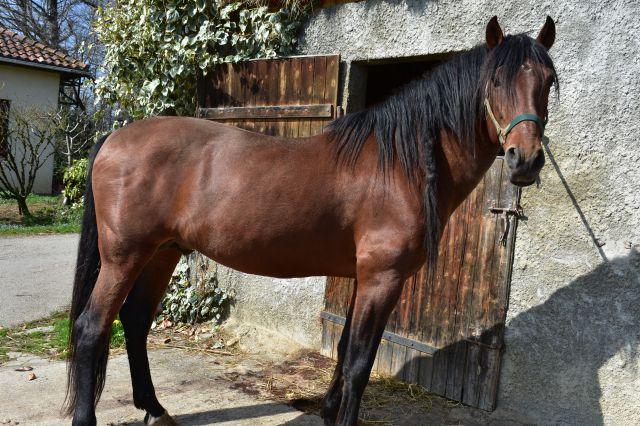 cheval espagnol bai