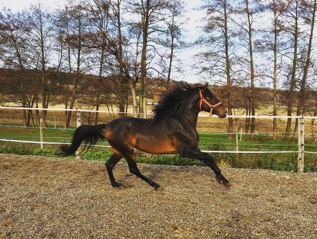 cheval espagnol a vendre midi pyrenees