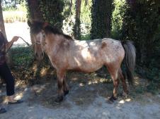 Rare poulinière - poney curly - importée des usa