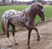 Boggy star river fb : saillie boggy superbe étalon appaloosa robe léopard