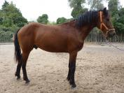 Super hongre très frisé (100% curly, 100% gaited)