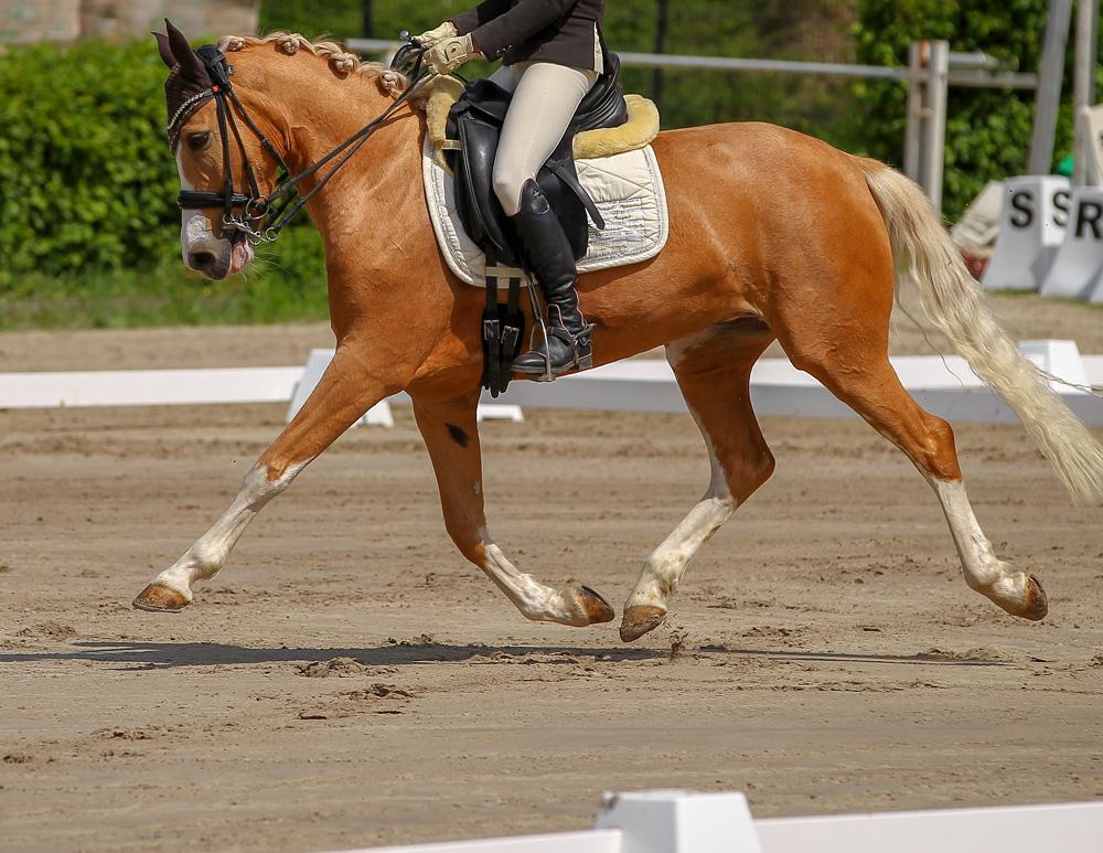 Le poney de selle belge BRP - Belgische Rijpony