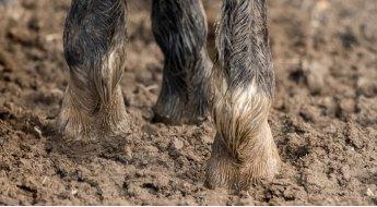 Gestion d'une manifestation de gale de boue chez le cheval