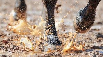 La gale de boue chez les équidés