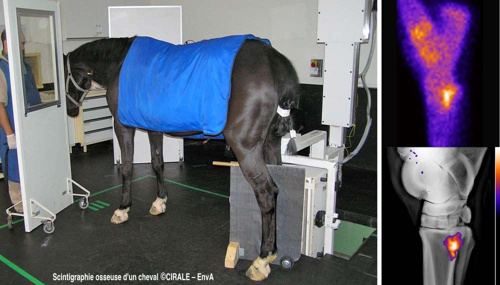 Scintigraphie du jarret du cheval